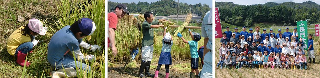 写真:稲刈りツアーの様子